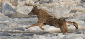 coyote in mid leap on an ice floe on the Hudson