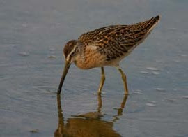 a short-billed dowitcher wading in the water with its bill low to the ground