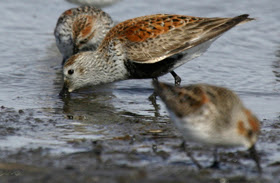 dunlin, a sandpiper, on the shoreline digging for food with its beak
