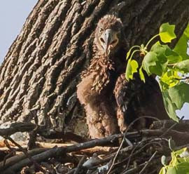large eagle nestling in a nest in a tree