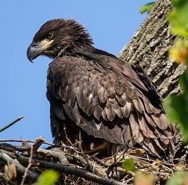 close up of a bald eagle nestling in a tree against a blue sky