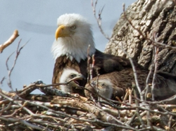An adult eagle and two eaglets in a nest