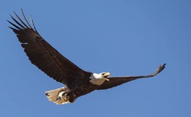 bald eagle soaring in flight against a bright blue sky carrying a small fish