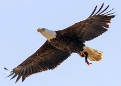 bald eagle flying with a catfish in its talons