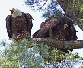 An adult eagle perched in a pine tree with an immature eagle.