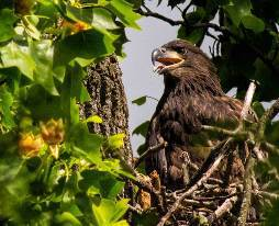 a bald eagle fledgling in its nest surrounded by greenery