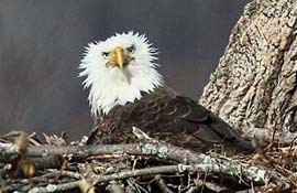 one bald eagle sitting in a nest in a tree looking directly at the camera