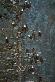 winter ice brings us bald eagles