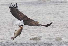 bald eagle in flight just above the water carrying a large gizzard shad in its talons