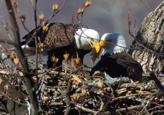 Two adult bald eagles feed a sunfish to their young while in their nest