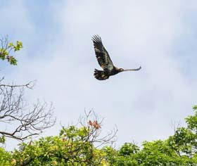 young eagle in flight above green trees agains a blue, partly cloudy sky