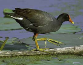 Common moorhen walking on a log in the wetland