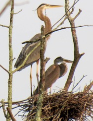 an adult and a young great blue heron in a nest in a tree