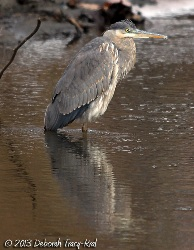 A great-blue heron hunched over in a shallow stream