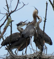 five great blue herons in a nest