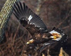 golden eagle in flight against a wooded background