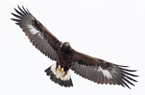 immaure golden eagle in flight against a light grey sky