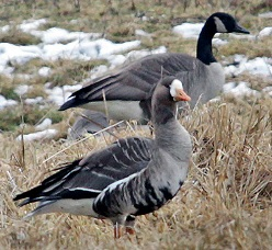 A white-fronted goose and a Canada goose standing in a field