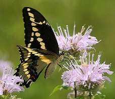 A giant swallowtail butterfly resting on a delicate purple flower.