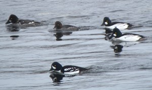close up of five goldeneyes, a male Barrow's in the foreground and two drake and two hen common goldeneye in the background all on the water
