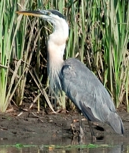 A great blue heron successfully swallows a blue crab