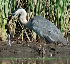 A great blue heron struggles to swallow a blue crab