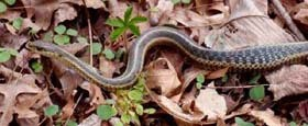 garter snake with a digestion bulge on the forest floor