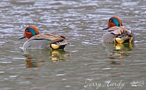Two male green-winged teal wading in the Hudson River