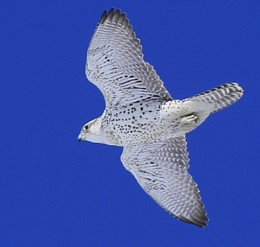 closeup of a gyrfalcon from below, in flight against a bright blue, clear sky