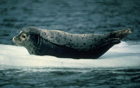 harbor seal on ice floe