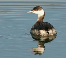close-up of a horned grebe in winter plumage on glassy water