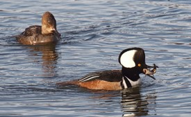 a pair of hooded mergansers swimming on the water, the drake in the foreground with a small bullhead in its bill and the hen in the background