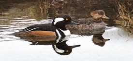 close up of a pair of hooded mergansers, the drake in the foreground and the hen in the background, on the water