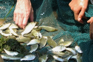 White perch, menhaden, and other fish caught in a seine net