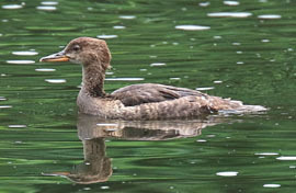 immature hooded merganser swimming in water that is reflecting green