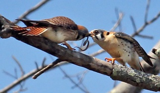 a male and female american kestrel in a branch passing a small snake between them