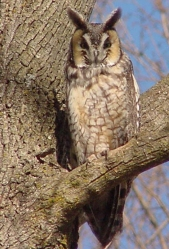 A long-eared owl perched in a tree