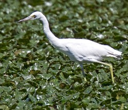 An immature little blue heron wading through water chestnut beds