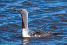 A red-throated loon wading in the river with its neck fully extended