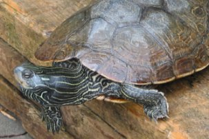 A northern map turtle on a stack of lumber