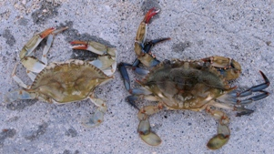a blue crab with its recent molt beside it