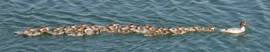 a female merganser with 27 young of the year mergansers swimming behind her