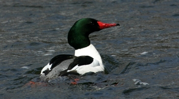 A male common merganser wades in the Hudson River