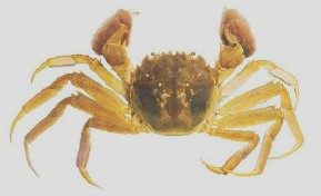 An illustration of a chinese mitten crab, named after it's furry claws