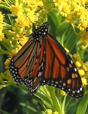 A monarch butterfly perched on some bright flowers