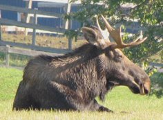 a male moose with small antlers resting in the grass in Halfmoon