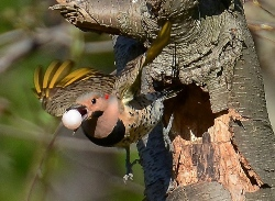 northern flicker with a white egg in its mouth coming out of a hole in the tree