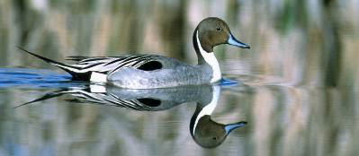 A male northern pintail duck wading in the river