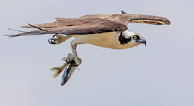 osprey in flight carrying a chain pickerel against a blue-grey sky