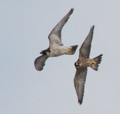 an adult peregrine falcon and a fledgling peregrine falcon flying close to each other